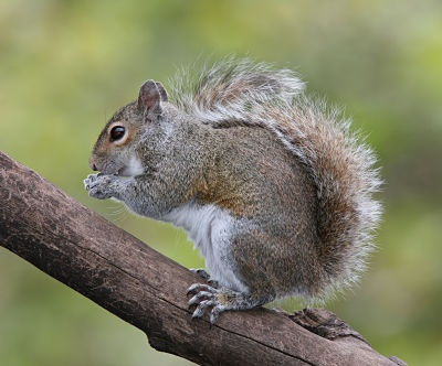 eastern_grey_squirrel_opt