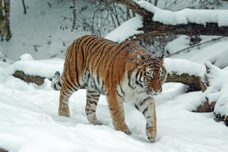 tiger-1972742